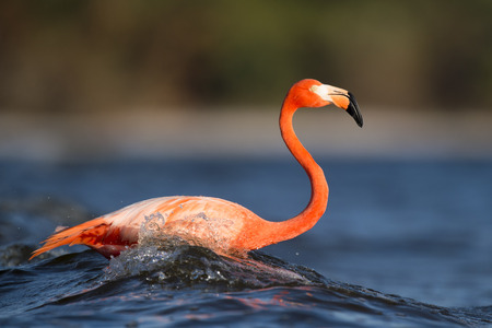A bright pink American Flamingo is splashed by a wave as it stands in the shallow water.