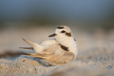 A tiny Snowy Plover preens its feathers on the sandy beach in the early morning sunlight with its tail sticking up in the air.