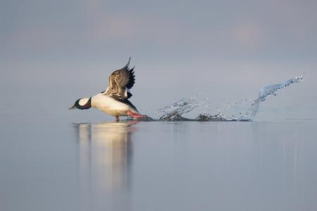 男性ヒメハジロ鴨の refelction とフラットな静かな水で大きなスプラッシュを作成する水からはがしていく。 写真素材