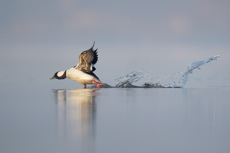 A male Bufflehead takes off out of the water creating a large splash in the flat calm water with a refelction of the duck.