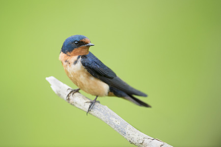 A Barn Swallow is perched on a small branch in front of a smooth green background with soft overcast light.