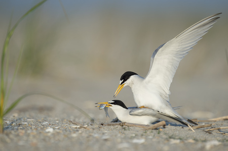 A pair of Least Terns are mating on a sandy beach as the male flaps his wings and the female holds a fish in her beak.