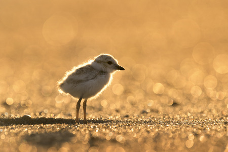 endangered: A tiny endangered Piping Plover Chick glows in the early morning sunlight as it stands on a sandy beach.