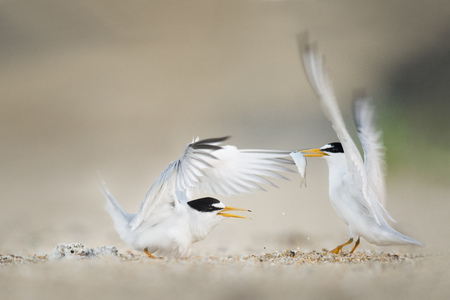 A pair of adult Least Terns flap their wings at each other while one of them holds a fish and the other bird protects two tiny chicks on the sandy beach. Stok Fotoğraf