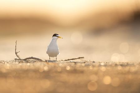 Nejmenší tern stojí na písečné pláži s několika holemi, které ho obklopují, jak brzy ráno svítí slunce za ním a vytváří tak teplou záři ptáka a písku.