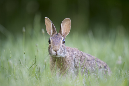 An Eastern Cottontail Rabbit has its head held up searching its surroundings in an alert pose while sitting in a field of green grass. Banco de Imagens - 61024476