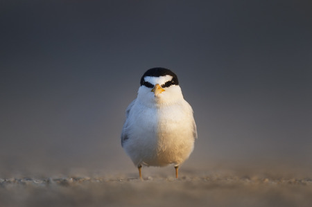 An adult Least Tern faces directly at the camera as the early morning sun lights up half of its body as it stands on a sandy beach.