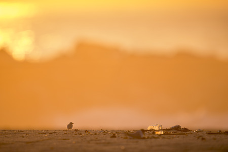 An unfortunately common scene at the New Jersey Shore is to see wildlife and human trash.  This very young and very tiny Least Tern chick stands on a sandy beach as the sun rises with a large plastic bottle sitting next to it. Stok Fotoğraf