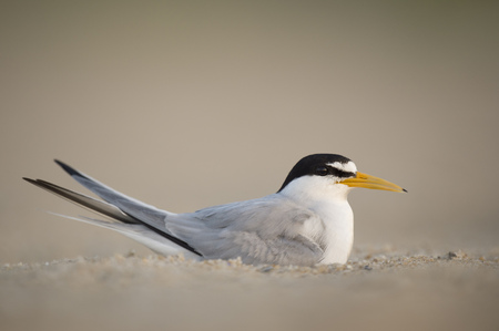 An adult Least Tern sits on a nest on a sandy beach in the early morning sunlight.