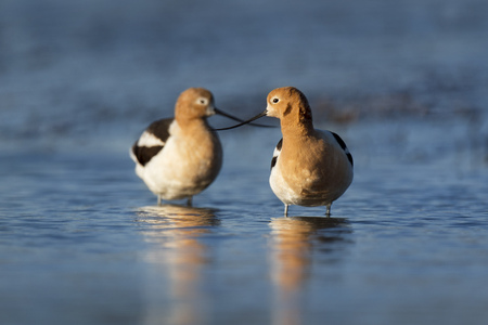 A pair of American Avocets stand in shallow blue water with their bills crossed in the early morning sunlight.