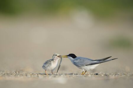 An adult Least Tern feeds a long Sand Eel to its young chick on a snady beach on a bright sunny morning.