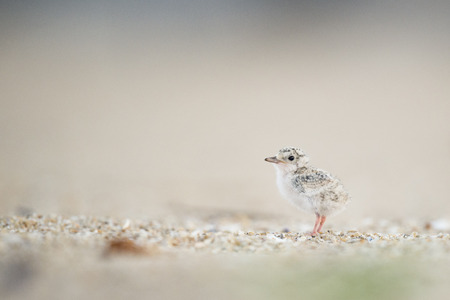 A small Least Tern Chick stands on the sandy beach in the morning sunlight. Stok Fotoğraf