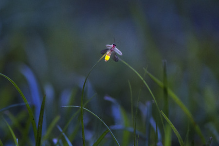 A tiny firefly lights up at dusk in a field of tall grass. Stock Photo