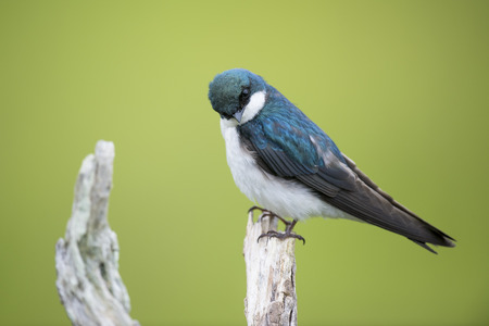 head tilted: This Tree Swallow appears rather curious with its head tilted while its perched on an old dead tree with a bright green background.