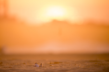 An adult Least Tern keeps an eye on its young tiny chick on a sandy beach bathed in golden morning sunlight.