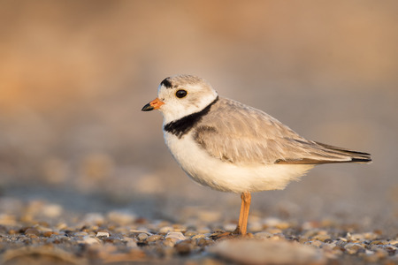 plover: An endangered adult Piping Plover stands on a pebbly beach just as the first sunlight shines on it.