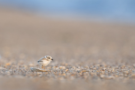 plover: A tiny cute Piping Plover chick stands in front of a tiny shell on a pebble covered beach in the early morning sunlight.