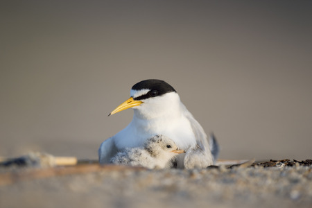 A Least Tern chick snuggles in close with its parent to stay safe on the open beach in the early morning sunlight.