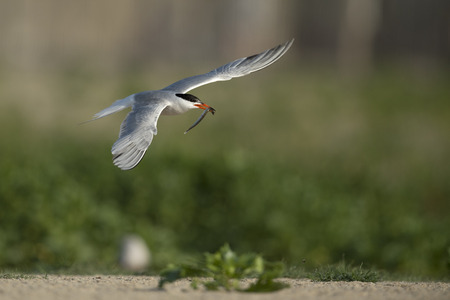 red beak: An adult Common Tern flies over a sandy beach with a long fish in its bright red beak.
