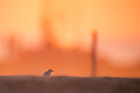 A single Least Tern stands on a sandy beach as a bright red sun rises behind them. Stok Fotoğraf