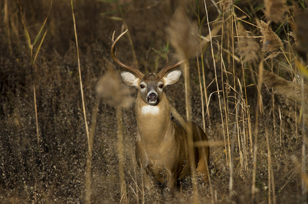 A very large Whitetail Buck looks at the camera from behind some tall brown reeds during the rut season.