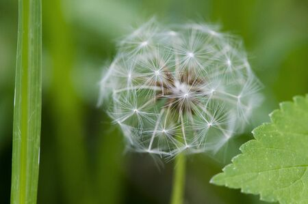 A dandelion flower that has turned white stands out against a green background. Stock Photo