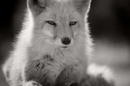 lays down: A fox lays down in the mid day sun in winter and featured in black and white. Stock Photo