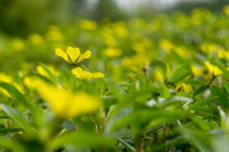 A single yellow flower stands out against a field of bright yellow and green flowers and plants. 版權商用圖片