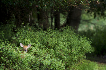 A small whitetail deer peeks out from behind some bright green bushes. Banco de Imagens