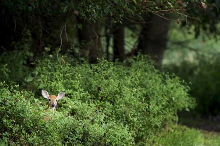 venado cola blanca: Un pequeño ciervo de cola blanca se asoma desde detrás de unos arbustos verdes brillantes.