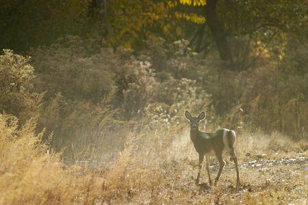 venado cola blanca: Un venado de cola blanca mira hacia atrás en la cámara como el sol lo ilumina desde atrás. Foto de archivo