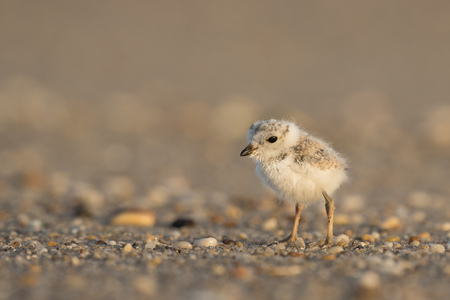 An endangered cute and tiny Piping Plover chick stands on a pebble covered beach in the early morning sunlight.