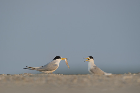 courtship: A pair of Least Terns perform a courtship ritual as the male shows off a fish to the female bird on a sandy beach.