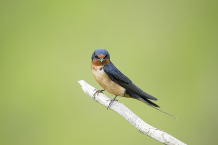 barn swallow: An adult Barn Swallow sits perched on a light branch against a smooth green background.