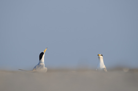 courtship: A pair of adult Least Terns throw their heads up in the air performing a courtship display on the beach. Stock Photo