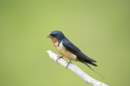 barn swallow: An adult Barn Swallow sits perched on a light branch and singing against a smooth green background. Stock Photo