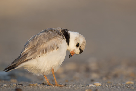 preens: An endangered adult Piping Plover preens its feathers on a sandy beach on a bright sunny morning. Stock Photo