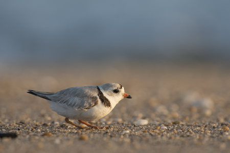 An endangered adult Piping Plover crouches on a sandy and pebbly beach on a bright sunny morning.