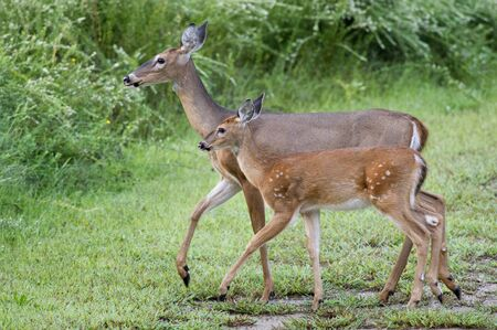 whitetail: A fawn Whitetail Deer and its mother walk together in short green grass. Stock Photo