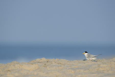 An adult Least Tern stands on a sandy beach on a bright sunny morning in front of a blue ocean and sky.