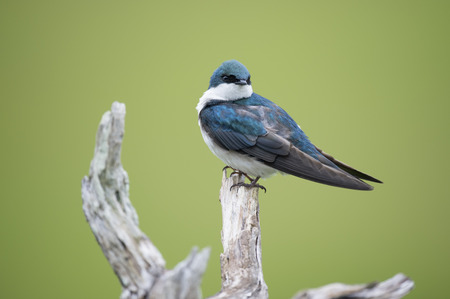 iridescent: An iridescent adult Tree Swallow sits perched on a light branch in front of a smooth green background.