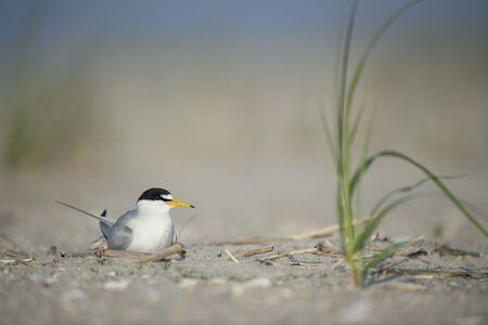 An adult Least Tern sits on a sandy beach on a bright sunny morning