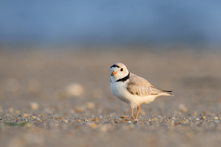 plover: An endangered adult Piping Plover stands on a sandy beach on a bright sunny morning.