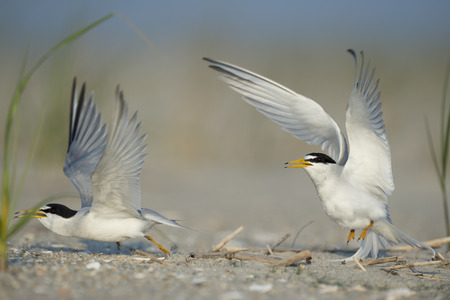 mated: A pair of Least Terns seperate just after they had mated on the beach.