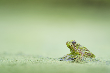 duckweed: A small frog sits covered in duckweed on a submerged stick against a smooth green background.