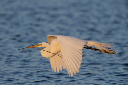 egrets: A bright white Great Egret flies over blue water with a branch in its beak  for building a nest in the late evening sunlight.