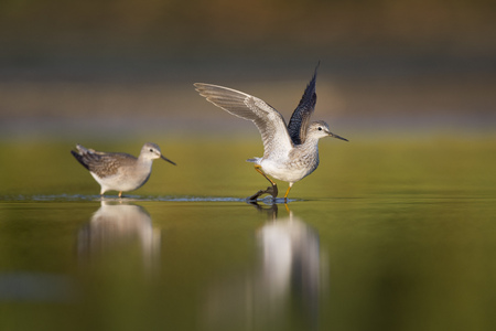 A pair of Lesser Yellowlegs chase each other around the shallows as one bird flaps its wings and runs from the other in the morning sunlight. Reklamní fotografie - 69242806