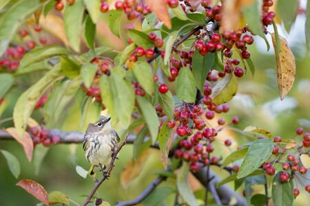 warblers: A Yellow-rumped Warbler perches in a tree filled with bright red berries and some colorful fall leaves. Stock Photo