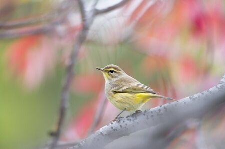 warblers: A Palm Warbler sits perched on a a branch in front of red leaves in the fall.