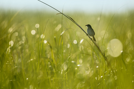 A Seaside Sparrow perches on on of the taller pieces of marsh grass as the early morning sun shines from behind it. Stock Photo